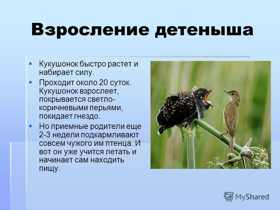 Взросление детеныша Кукушонок быстро растет и набирает силу. Проходит около 20 суток. Кукушонок взрослеет, покрывается светло- коричневыми перьями, покидает гнездо. Но приемные родители еще 2-3 недели подкармливают совсем чужого им птенца. И вот он у