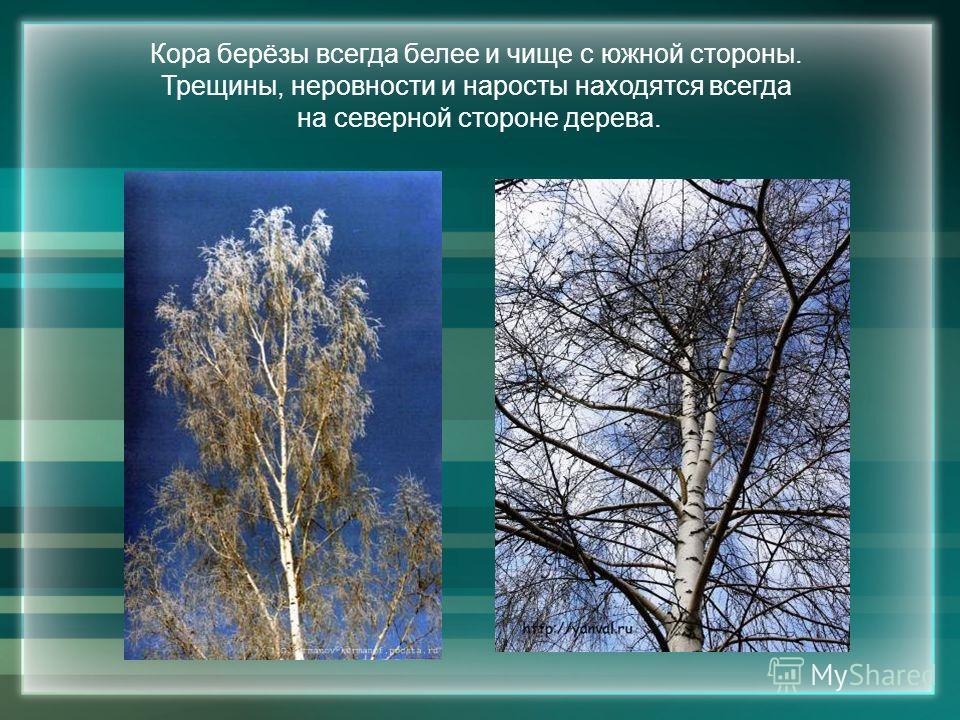 Кора берёзы всегда белее и чище с южной стороны. Трещины, неровности и наросты находятся всегда на северной стороне дерева.