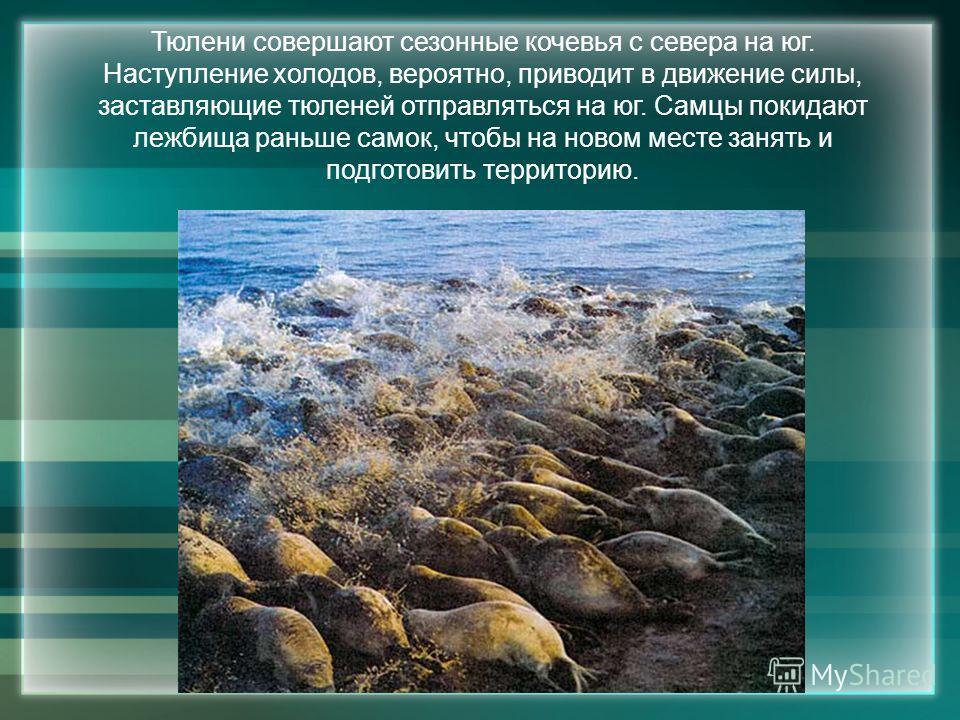 Тюлени совершают сезонные кочевья с севера на юг. Наступление холодов, вероятно, приводит в движение силы, заставляющие тюленей отправляться на юг. Самцы покидают лежбища раньше самок, чтобы на новом месте занять и подготовить территорию.