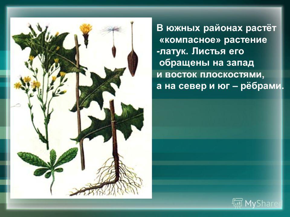 В южных районах растёт «компасное» растение -латук. Листья его обращены на запад и восток плоскостями, а на север и юг – рёбрами.
