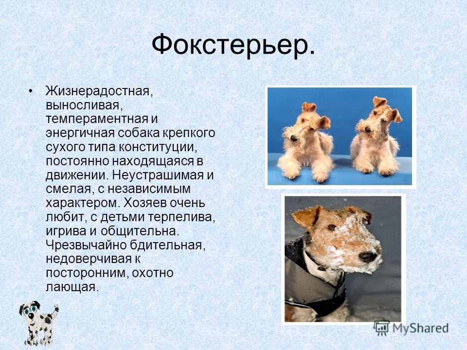 Фокстерьер. Жизнерадостная, выносливая, темпераментная и энергичная собака крепкого сухого типа конституции, постоянно находящаяся в движении. Неустрашимая и смелая, с независимым характером. Хозяев очень любит, с детьми терпелива, игрива и общительн