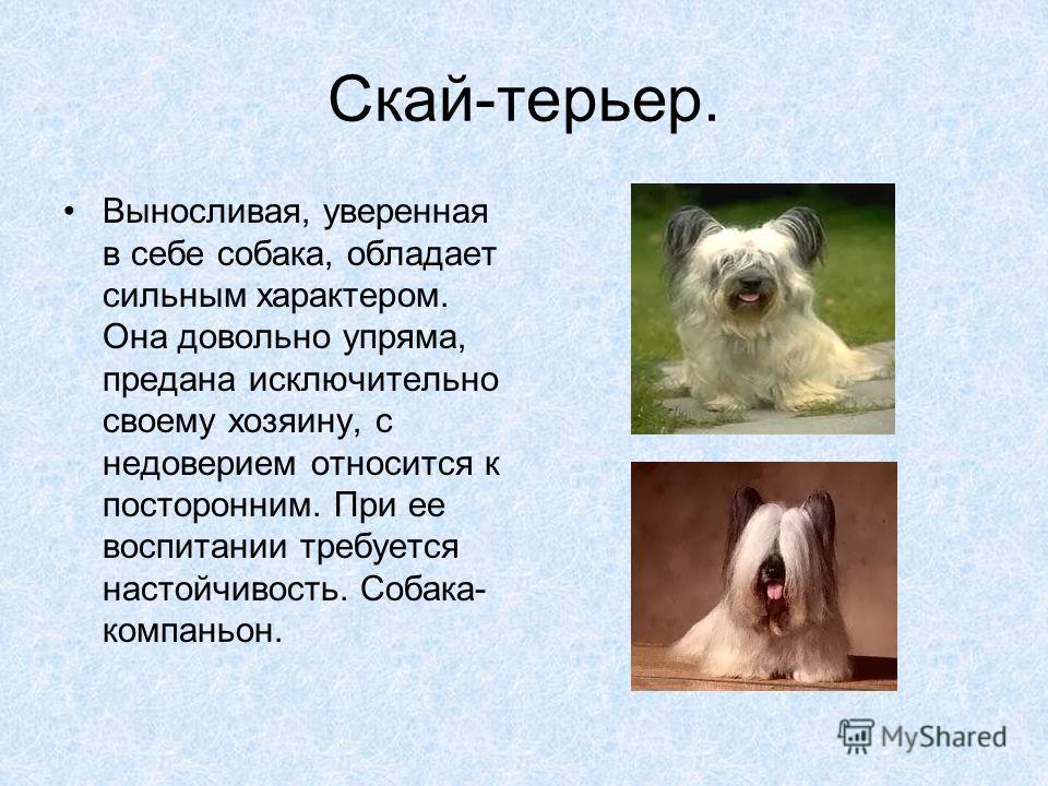 Скай-терьер. Выносливая, уверенная в себе собака, обладает сильным характером. Она довольно упряма, предана исключительно своему хозяину, с недоверием относится к посторонним. При ее воспитании требуется настойчивость. Собака- компаньон.