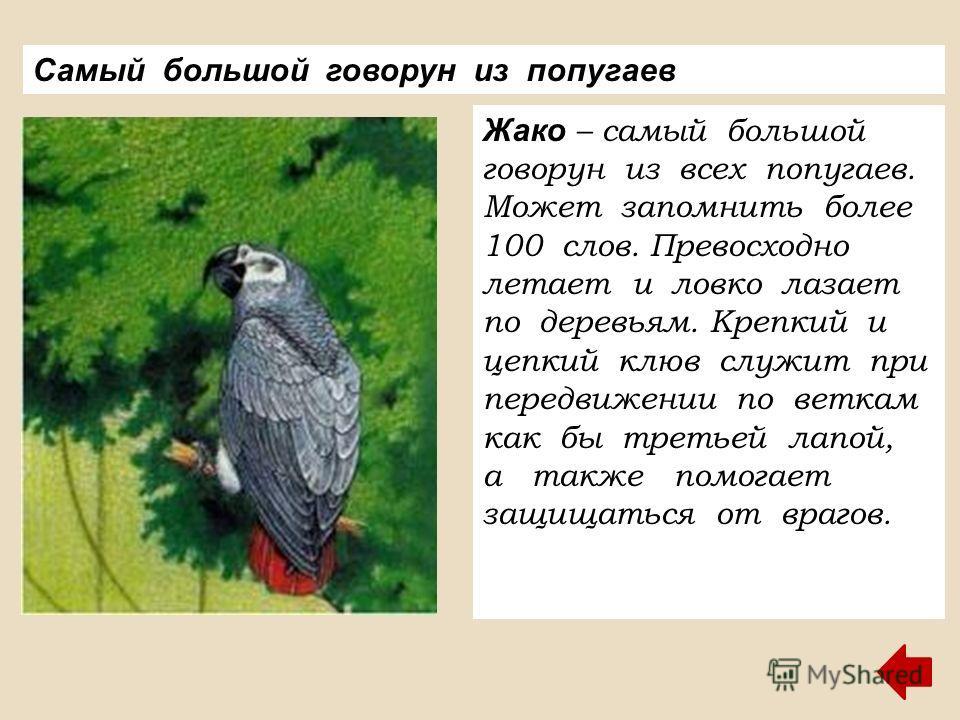 Жако – самый большой говорун из всех попугаев. Может запомнить более 100 слов. Превосходно летает и ловко лазает по деревьям. Крепкий и цепкий клюв служит при передвижении по веткам как бы третьей лапой, а также помогает защищаться от врагов. Самый б