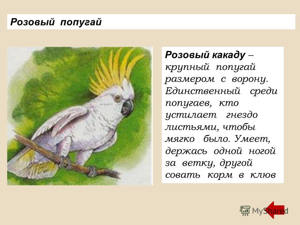 Розовый попугай Розовый какаду – крупный попугай размером с ворону. Единственный среди попугаев, кто устилает гнездо листьями, чтобы мягко было. Умеет, держась одной ногой за ветку, другой совать корм в клюв