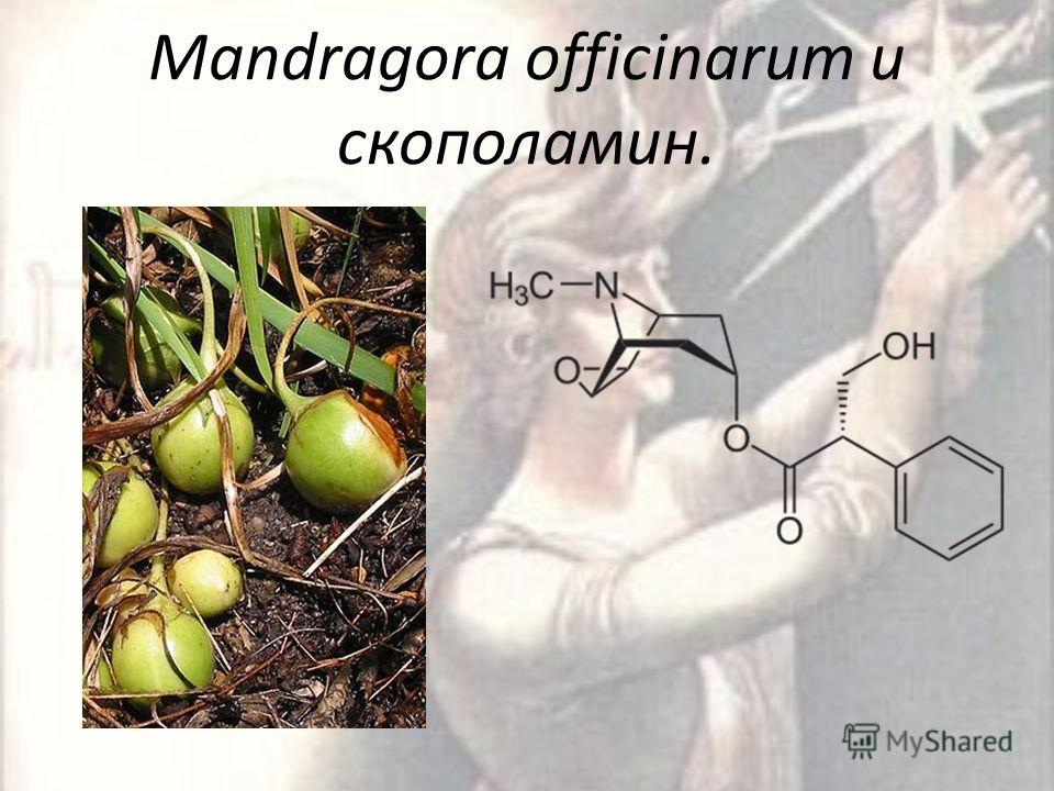 Mandragora officinarum и скополамин.