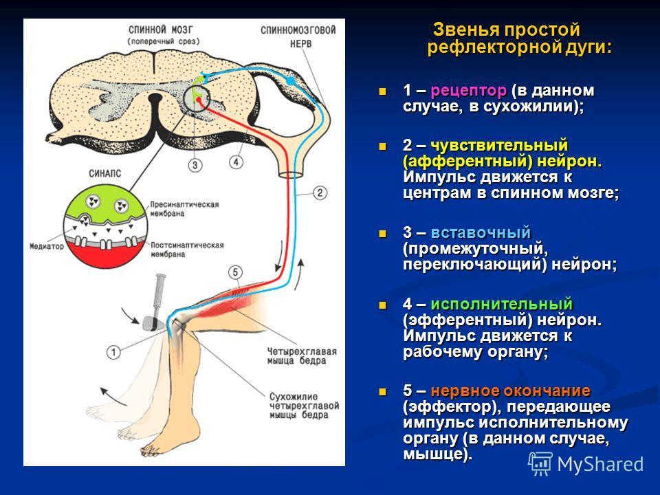Звенья простой рефлекторной дуги: 1 – рецептор (в данном случае, в сухожилии); 1 – рецептор (в данном случае, в сухожилии); 2 – чувствительный (афферентный) нейрон. Импульс движется к центрам в спинном мозге; 2 – чувствительный (афферентный) нейрон.