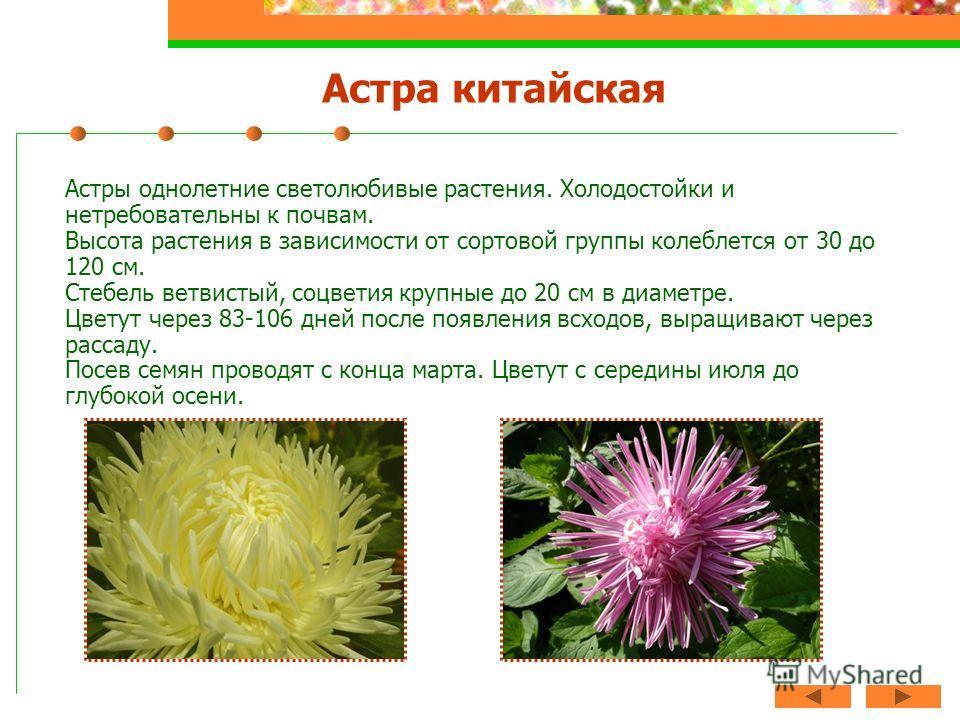 Астра китайская Астры однолетние светолюбивые растения. Холодостойки и нетребовательны к почвам. Высота растения в зависимости от сортовой группы колеблется от 30 до 120 см. Стебель ветвистый, соцветия крупные до 20 см в диаметре. Цветут через 83-106