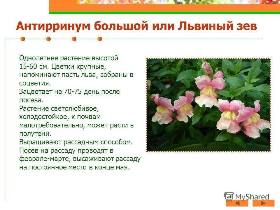 Антирринум большой или Львиный зев Однолетнее растение высотой 15-60 см. Цветки крупные, напоминают пасть льва, собраны в соцветия. Зацветает на 70-75 день после посева. Растение светолюбивое, холодостойкое, к почвам малотребовательно, может расти в