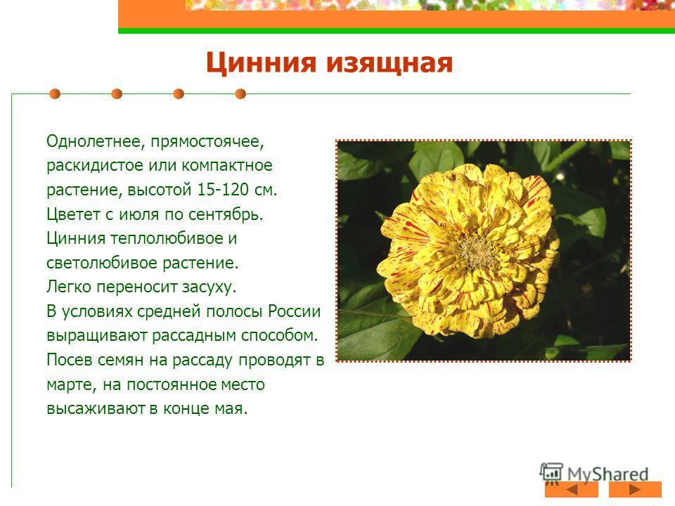 Цинния изящная Однолетнее, прямостоячее, раскидистое или компактное растение, высотой 15-120 см. Цветет с июля по сентябрь. Цинния теплолюбивое и светолюбивое растение. Легко переносит засуху. В условиях средней полосы России выращивают рассадным спо