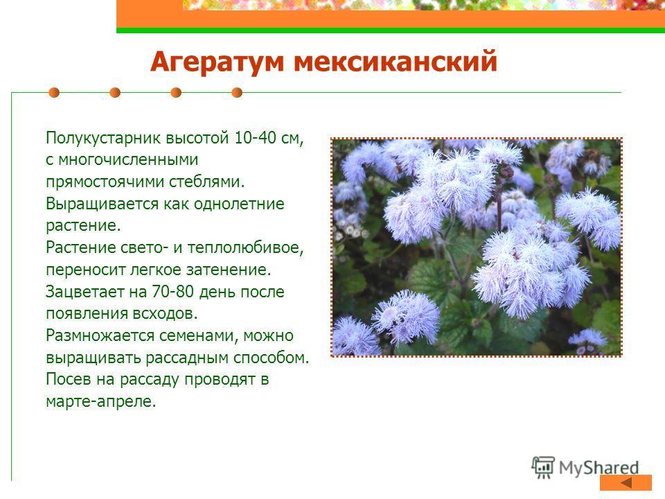 Агератум мексиканский Полукустарник высотой 10-40 см, с многочисленными прямостоячими стеблями. Выращивается как однолетние растение. Растение свето- и теплолюбивое, переносит легкое затенение. Зацветает на 70-80 день после появления всходов. Размнож