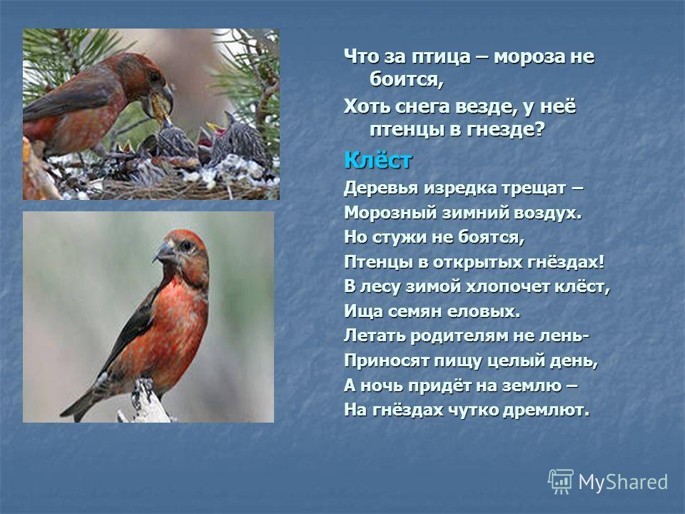 Что за птица – мороза не боится, Хоть снега везде, у неё птенцы в гнезде? Клёст Деревья изредка трещат – Морозный зимний воздух. Но стужи не боятся, Птенцы в открытых гнёздах! В лесу зимой хлопочет клёст, Ища семян еловых. Летать родителям не лень- П