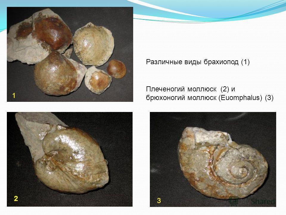 Плеченогий моллюск (2) и брюхоногий моллюск (Euomphalus) (3) 2 3 1 Различные виды брахиопод (1)