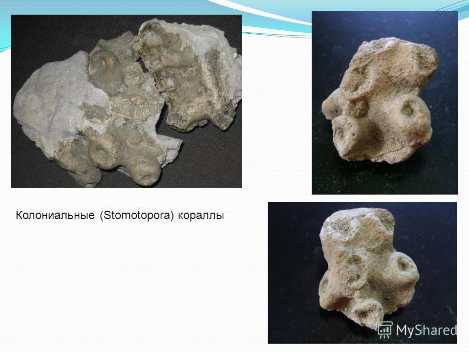 Колониальные (Stomotopora) кораллы