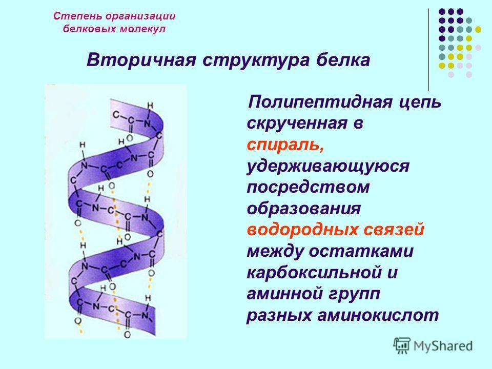 Степень организации белковых молекул Вторичная структура белка Полипептидная цепь скрученная в спираль, удерживающуюся посредством образования водородных связей между остатками карбоксильной и аминной групп разных аминокислот