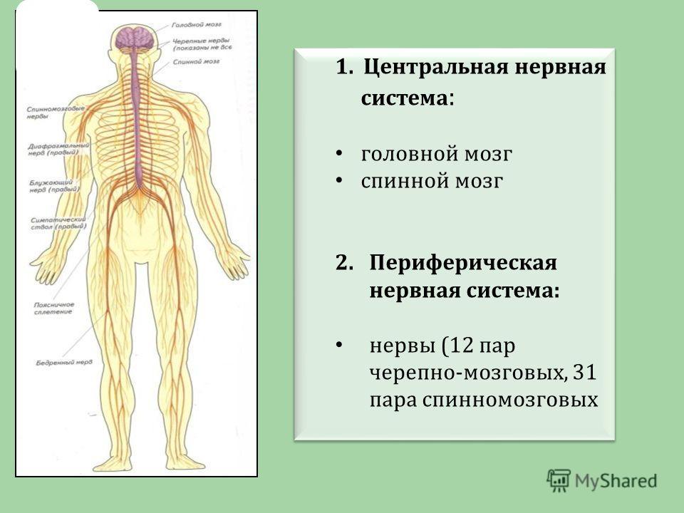 1. Центральная нервная система : головной мозг спинной мозг 2.Периферическая нервная система: нервы (12 пар черепно-мозговых, 31 пара спинномозговых 1. Центральная нервная система : головной мозг спинной мозг 2.Периферическая нервная система: нервы (