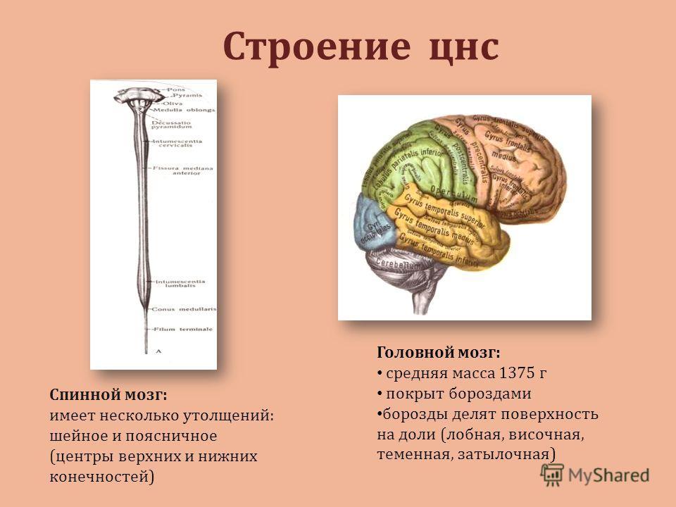 Строение цнс Спинной мозг: имеет несколько утолщений: шейное и поясничное (центры верхних и нижних конечностей) Головной мозг: средняя масса 1375 г покрыт бороздами борозды делят поверхность на доли (лобная, височная, теменная, затылочная)
