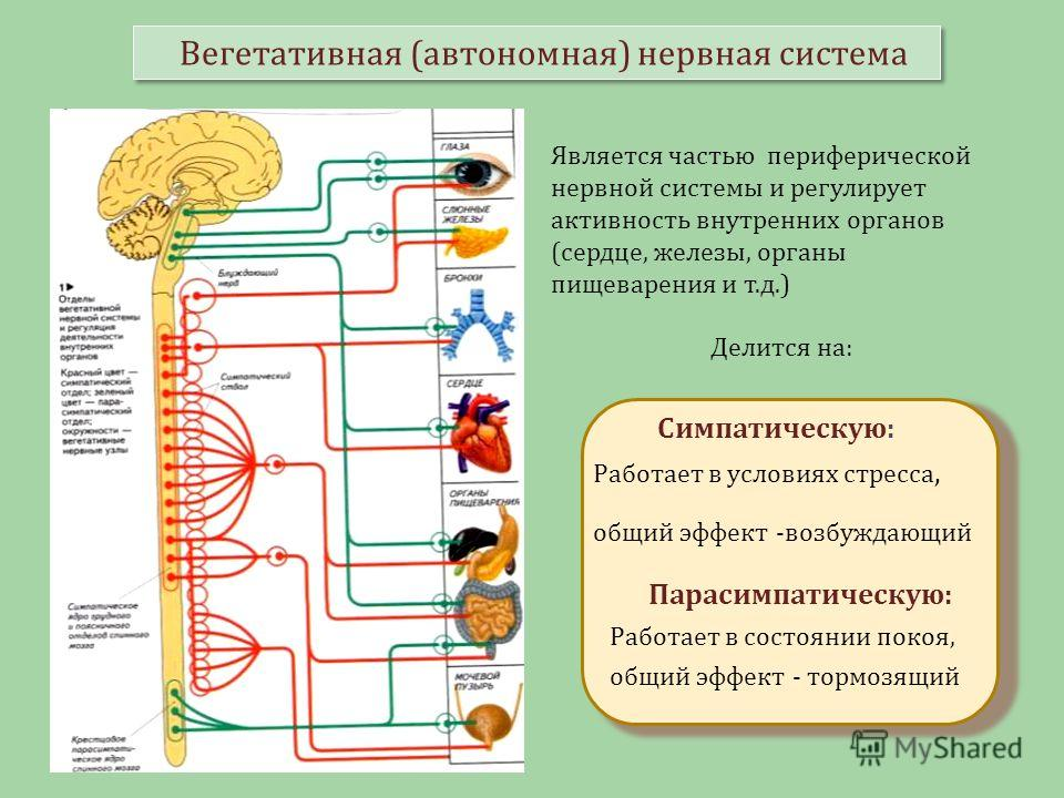 Вегетативная (автономная) нервная система Является частью периферической нервной системы и регулирует активность внутренних органов (сердце, железы, органы пищеварения и т.д.) Делится на: Симпатическую: Работает в условиях стресса, общий эффект -возб