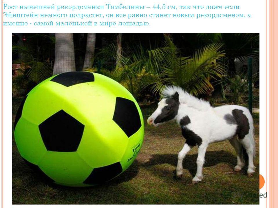 Рост нынешней рекордсменки Тамбелины – 44,5 см, так что даже если Эйнштейн немного подрастет, он все равно станет новым рекордсменом, а именно - самой маленькой в мире лошадью.
