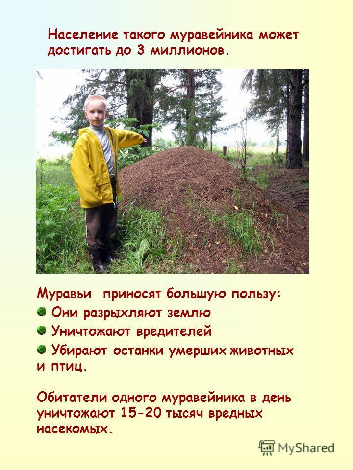 Население такого муравейника может достигать до 3 миллионов. Муравьи приносят большую пользу: Они разрыхляют землю Уничтожают вредителей Убирают останки умерших животных и птиц. Обитатели одного муравейника в день уничтожают 15-20 тысяч вредных насек