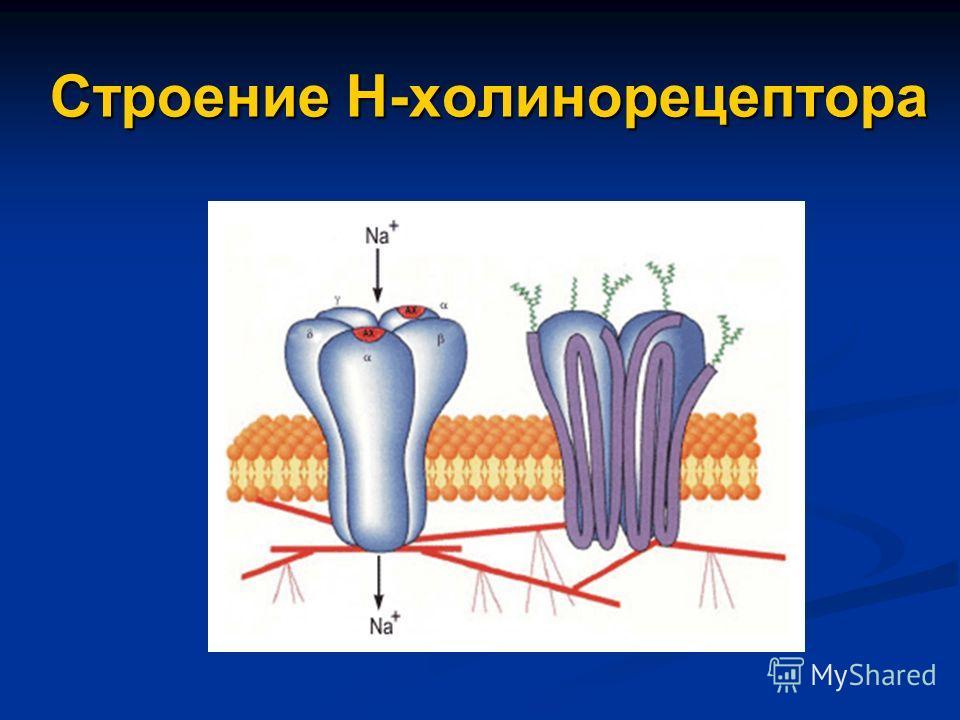 Строение Н-холинорецептора
