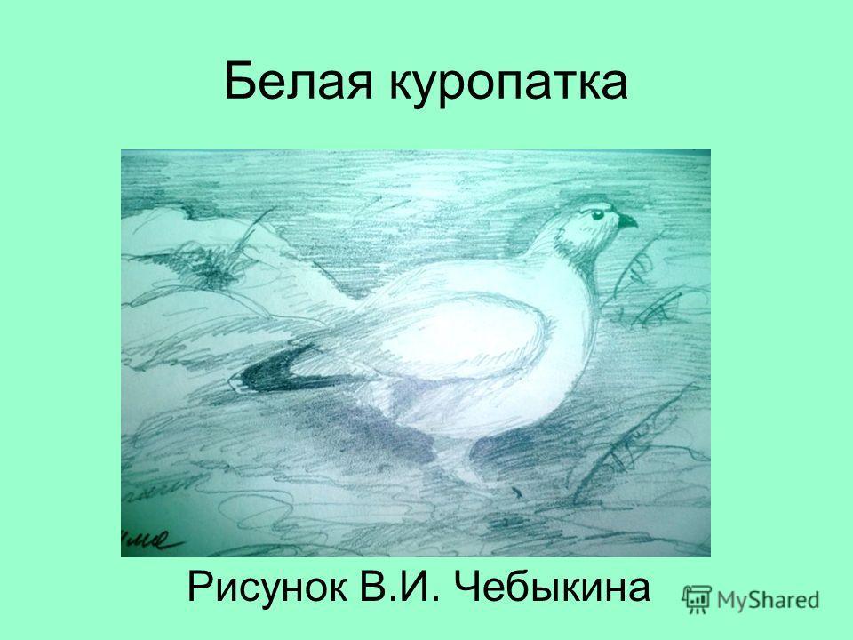 Белая куропатка Рисунок В.И. Чебыкина