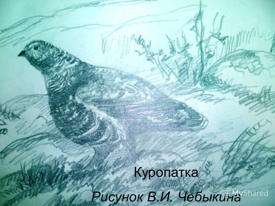 Куропатка Рисунок В.И. Чебыкина