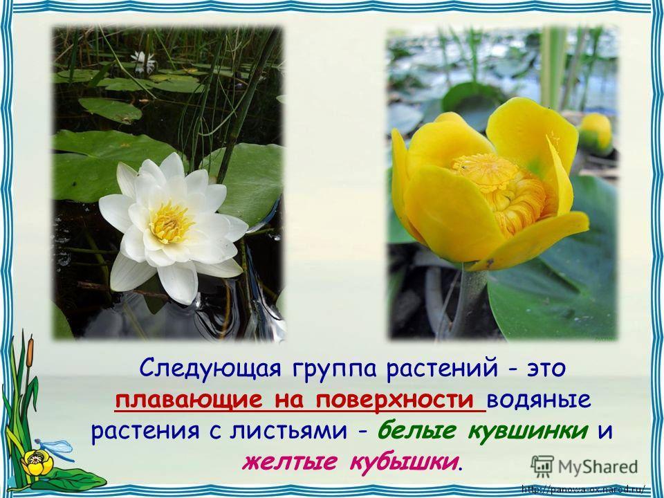 Следующая группа растений - это плавающие на поверхности водяные растения с листьями - белые кувшинки и желтые кубышки.