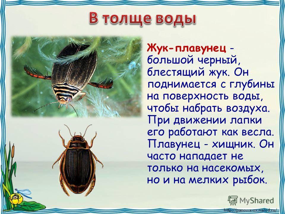 Жук-плавунец - большой черный, блестящий жук. Он поднимается с глубины на поверхность воды, чтобы набрать воздуха. При движении лапки его работают как весла. Плавунец - хищник. Он часто нападает не только на насекомых, но и на мелких рыбок.