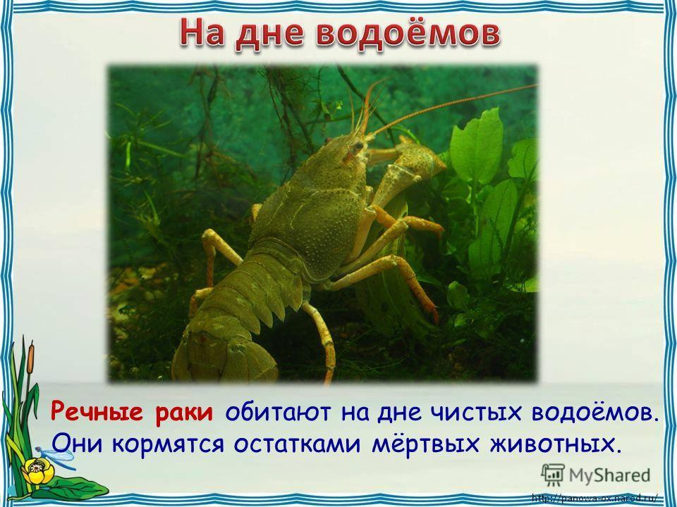 Речные раки обитают на дне чистых водоёмов. Они кормятся остатками мёртвых животных.