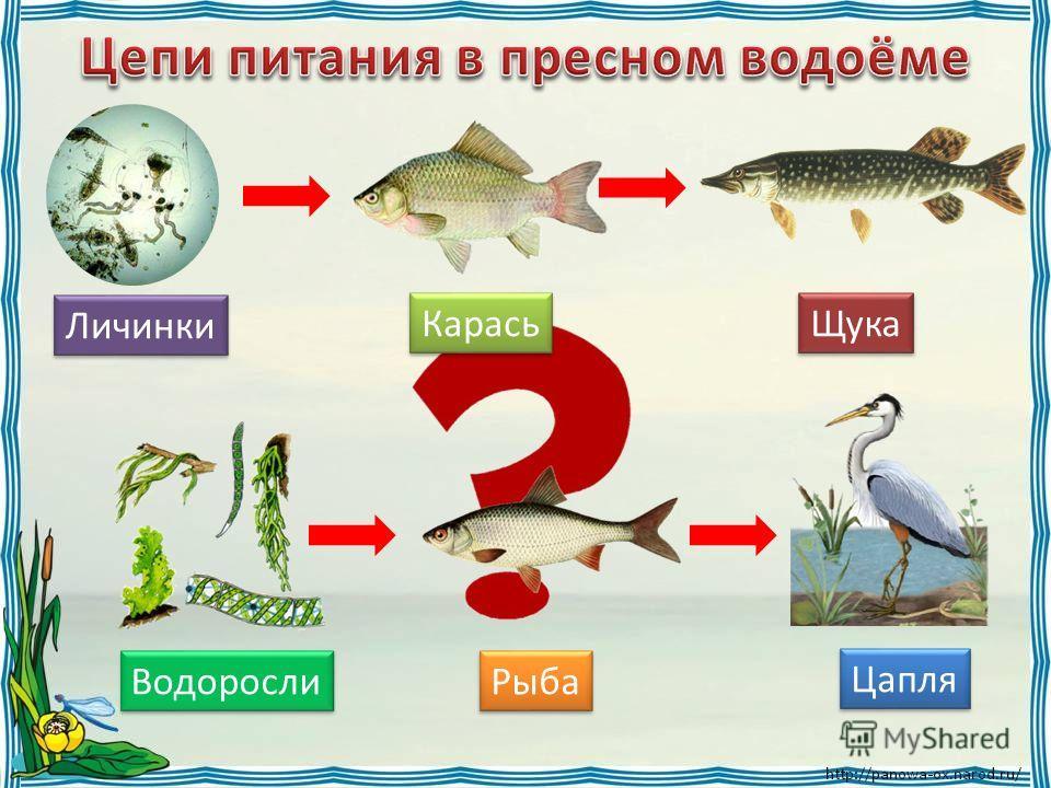Личинки Карась Щука Водоросли Рыба Цапля