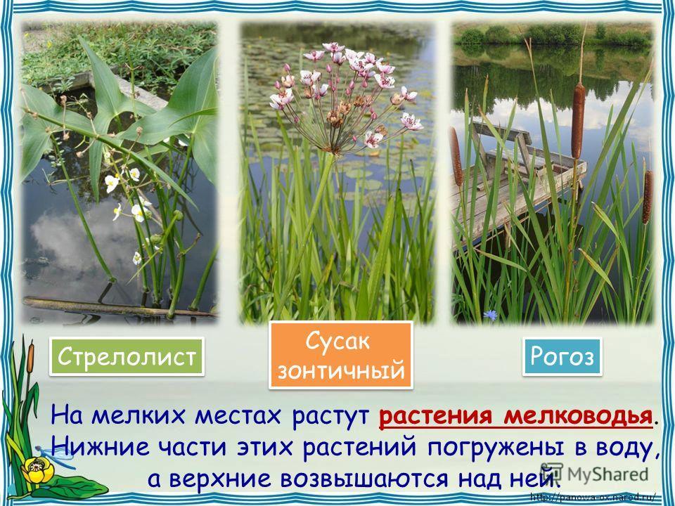 На мелких местах растут растения мелководья. Нижние части этих растений погружены в воду, а верхние возвышаются над ней. Стрелолист Сусак зонтичный Сусак зонтичный Рогоз