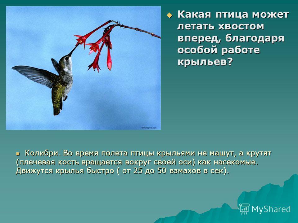 Какая птица может летать хвостом вперед, благодаря особой работе крыльев? Какая птица может летать хвостом вперед, благодаря особой работе крыльев? Колибри. Во время полета птицы крыльями не машут, а крутят (плечевая кость вращается вокруг своей оси)