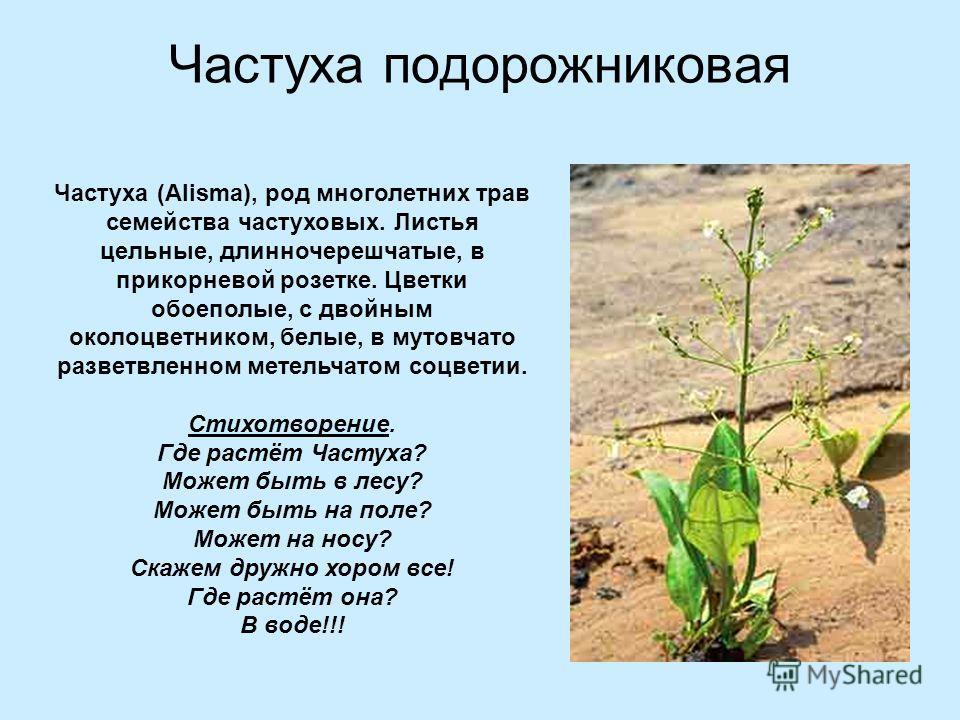 Частуха подорожниковая о Частуха (Alisma), род многолетних трав семейства частуховых. Листья цельные, длинночерешчатые, в прикорневой розетке. Цветки обоеполые, с двойным околоцветником, белые, в мутовчато разветвленном метельчатом соцветии. Стихотво