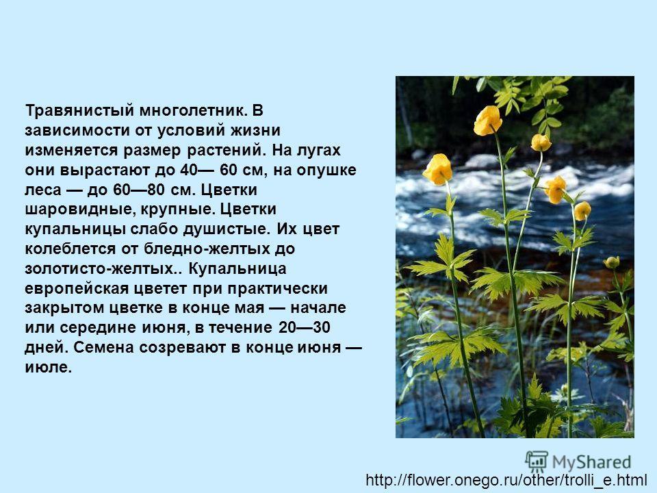 Травянистый многолетник. В зависимости от условий жизни изменяется размер растений. На лугах они вырастают до 40 60 см, на опушке леса до 6080 см. Цветки шаровидные, крупные. Цветки купальницы слабо душистые. Их цвет колеблется от бледно-желтых до зо