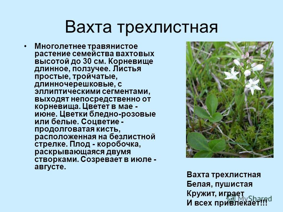 Вахта трехлистная Многолетнее травянистое растение семейства вахтовых высотой до 30 см. Корневище длинное, ползучее. Листья простые, тройчатые, длинночерешковые, с эллиптическими сегментами, выходят непосредственно от корневища. Цветет в мае - июне.