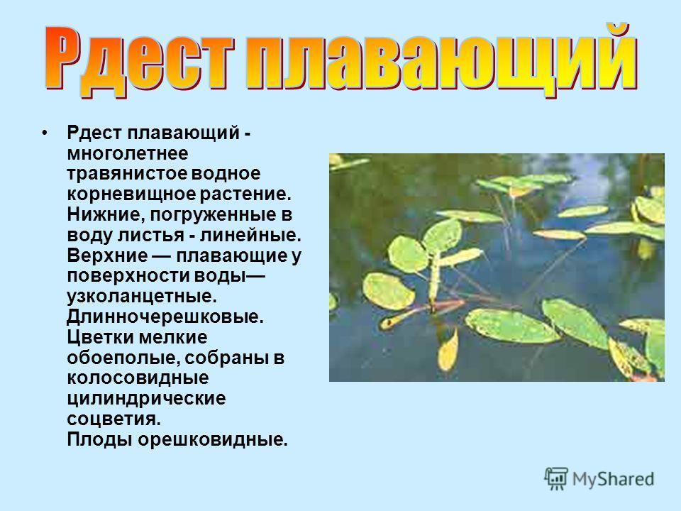 Рдест плавающий - многолетнее травянистое водное корневищное растение. Нижние, погруженные в воду листья - линейные. Верхние плавающие у поверхности воды узколанцетные. Длинночерешковые. Цветки мелкие обоеполые, собраны в колосовидные цилиндрические