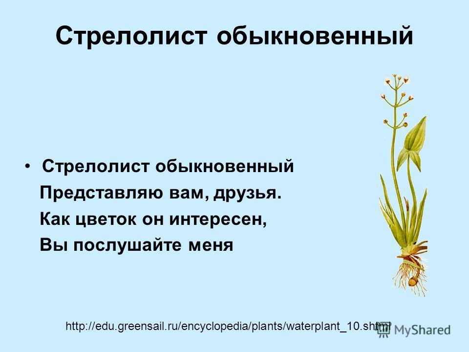 Стрелолист обыкновенный Представляю вам, друзья. Как цветок он интересен, Вы послушайте меня http://edu.greensail.ru/encyclopedia/plants/waterplant_10.shtml