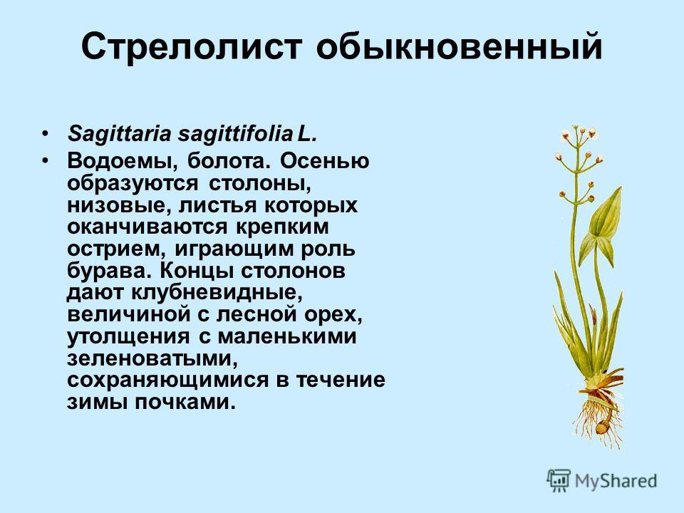 Стрелолист обыкновенный Sagittaria sagittifolia L. Водоемы, болота. Осенью образуются столоны, низовые, листья которых оканчиваются крепким острием, играющим роль бурава. Концы столонов дают клубневидные, величиной с лесной орех, утолщения с маленьки