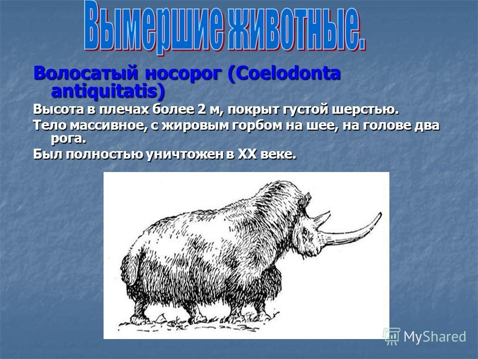 Волосатый носорог (Coelodonta antiquitatis) Высота в плечах более 2 м, покрыт густой шерстью. Тело массивное, с жировым горбом на шее, на голове два рога. Был полностью уничтожен в XX веке.