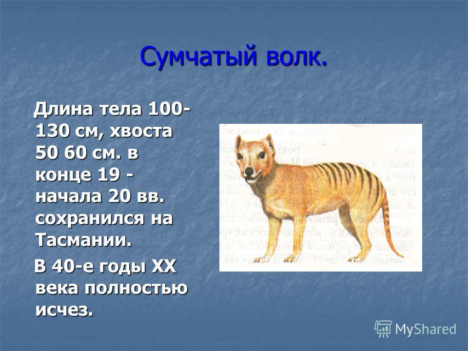 Сумчатый волк. Длина тела 100- 130 см, хвоста 50 60 см. в конце 19 - начала 20 вв. сохранился на Тасмании. Длина тела 100- 130 см, хвоста 50 60 см. в конце 19 - начала 20 вв. сохранился на Тасмании. В 40-е годы XX века полностью исчез. В 40-е годы XX