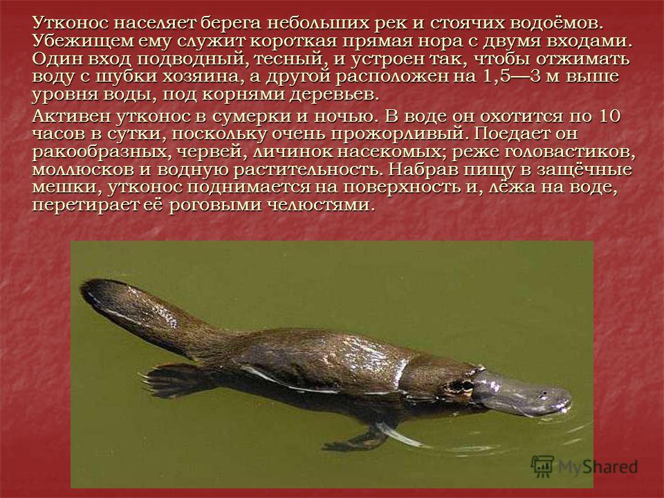 Утконос населяет берега небольших рек и стоячих водоёмов. Убежищем ему служит короткая прямая нора с двумя входами. Один вход подводный, тесный, и устроен так, чтобы отжимать воду с шубки хозяина, а другой расположен на 1,53 м выше уровня воды, под к
