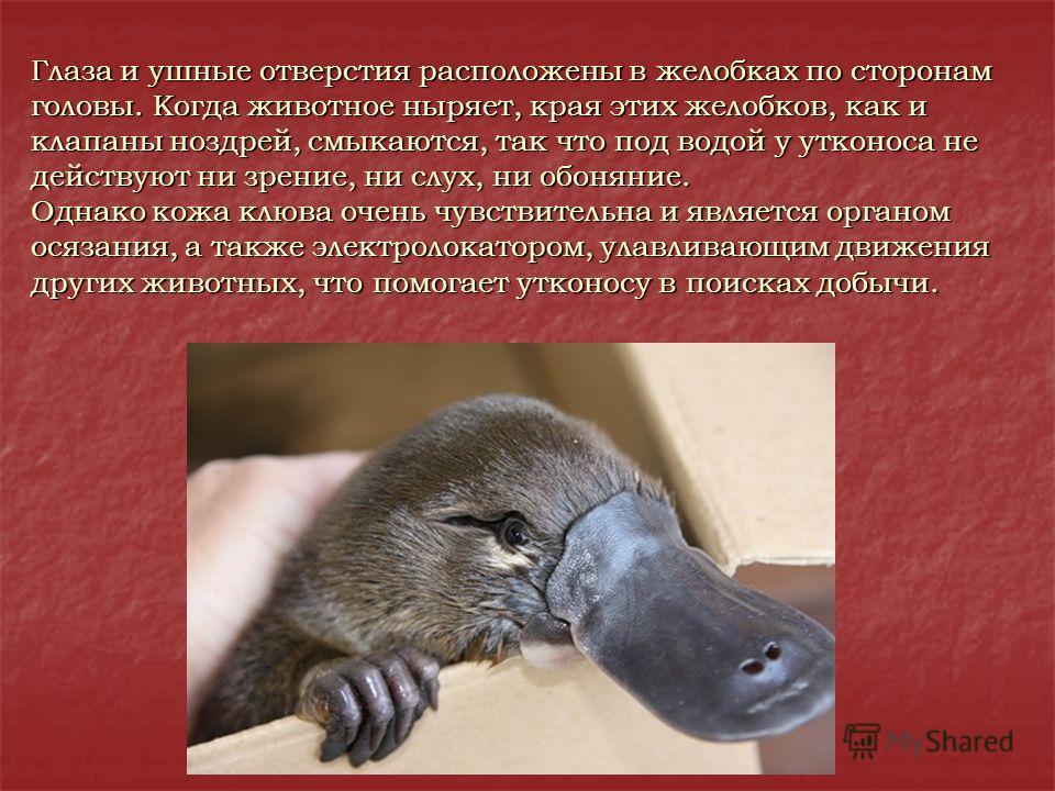 Глаза и ушные отверстия расположены в желобках по сторонам головы. Когда животное ныряет, края этих желобков, как и клапаны ноздрей, смыкаются, так что под водой у утконоса не действуют ни зрение, ни слух, ни обоняние. Однако кожа клюва очень чувстви