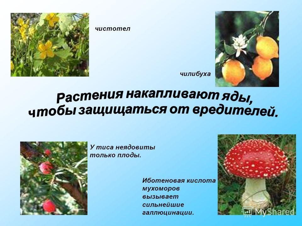 У тиса неядовиты только плоды. чилибуха Иботеновая кислота мухоморов вызывает сильнейшие галлюцинации. чистотел