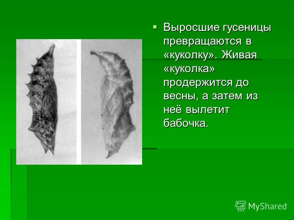 Выросшие гусеницы превращаются в «куколку». Живая «куколка» продержится до весны, а затем из неё вылетит бабочка. Выросшие гусеницы превращаются в «куколку». Живая «куколка» продержится до весны, а затем из неё вылетит бабочка.