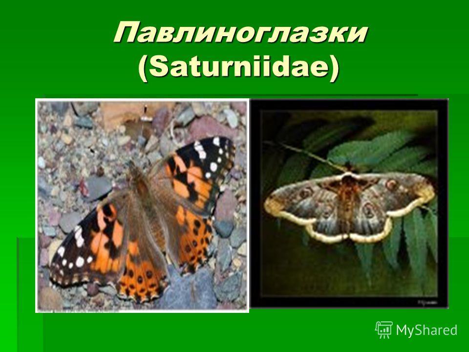 Павлиноглазки (Saturniidae)