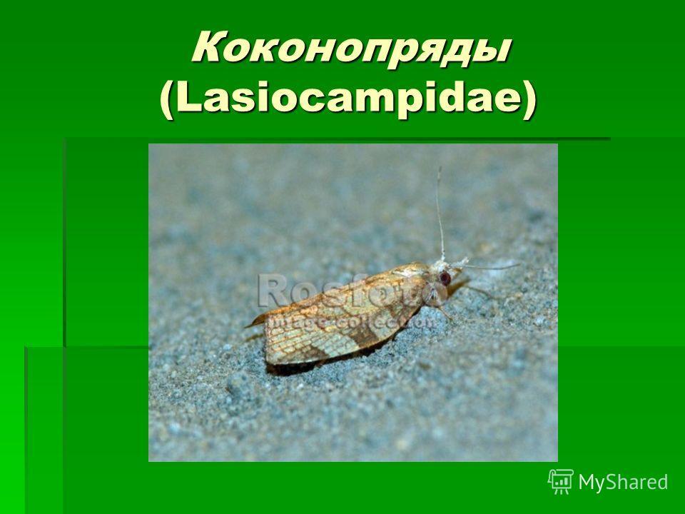 Коконопряды (Lasiocampidae)