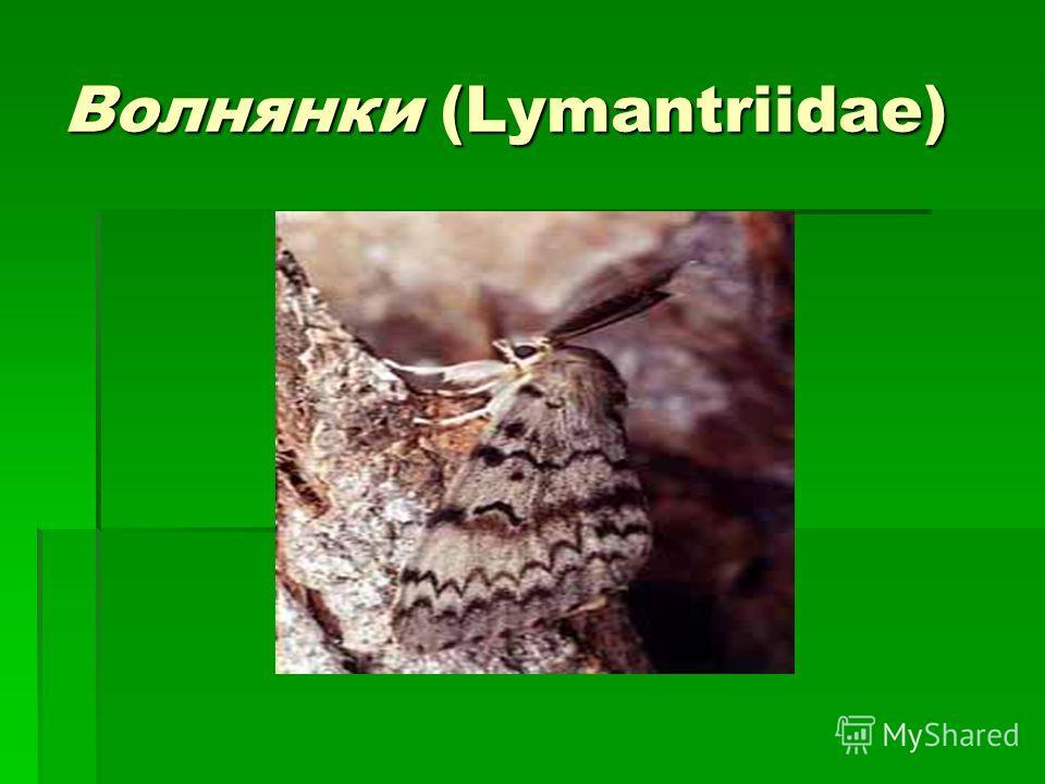 Волнянки (Lymantriidae)