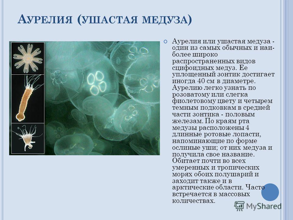 А УРЕЛИЯ ( УШАСТАЯ МЕДУЗА ) Аурелия или ушастая медуза - один из самых обычных и наи более широко распространенных видов сцифоидных медуз. Ее уплощенный зонтик достигает иногда 40 см в диаметре. Аурелию легко узнать по розоватому или слегка фиолетов