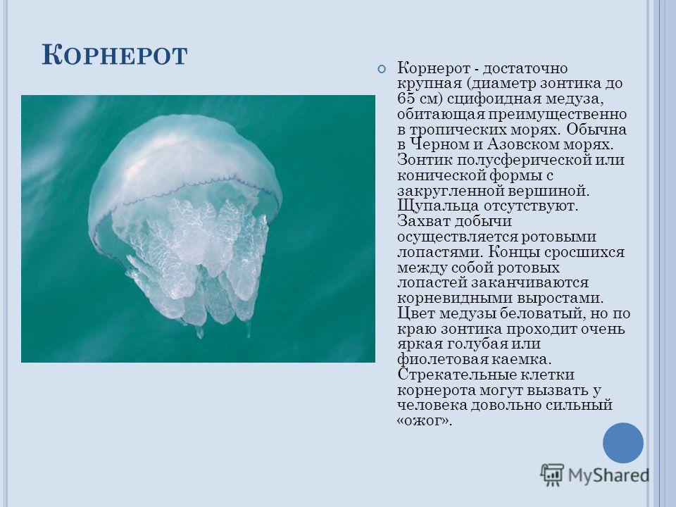 К ОРНЕРОТ Корнерот - достаточно крупная (диаметр зонтика до 65 см) сцифоидная медуза, обитающая преимущественно в тропических морях. Обычна в Черном и Азовском морях. Зонтик полусферической или конической формы с закругленной вершиной. Щупальца отсут