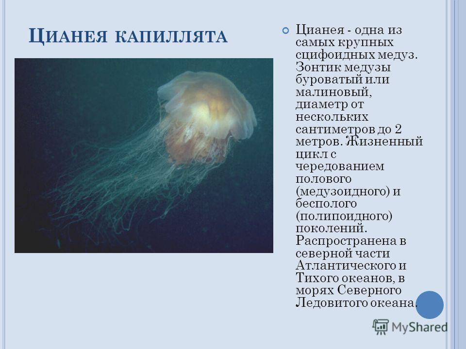 Ц ИАНЕЯ КАПИЛЛЯТА Цианея - одна из самых крупных сцифоидных медуз. Зонтик медузы буроватый или малиновый, диаметр от нескольких сантиметров до 2 метров. Жизненный цикл с чередованием полового (медузоидного) и бесполого (полипоидного) поколений. Распр